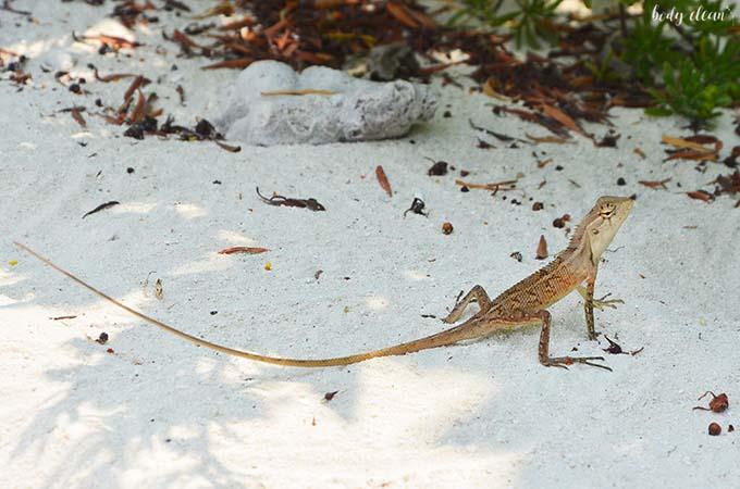 Malediwy wakacje Hanimaadhoo jaszczurka