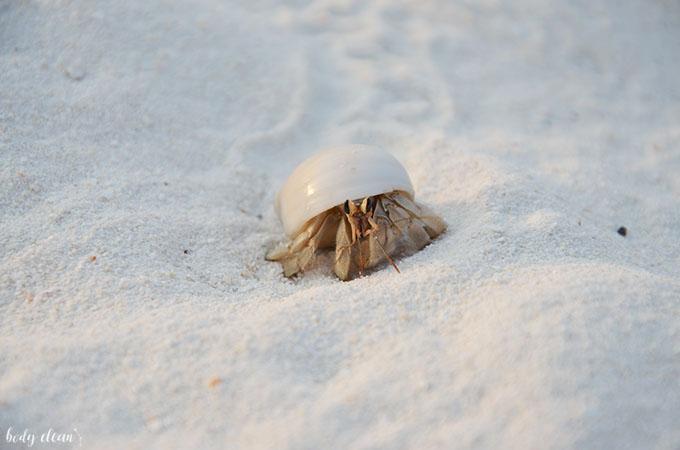 Malediwy wakacje Hanimaadhoo krab