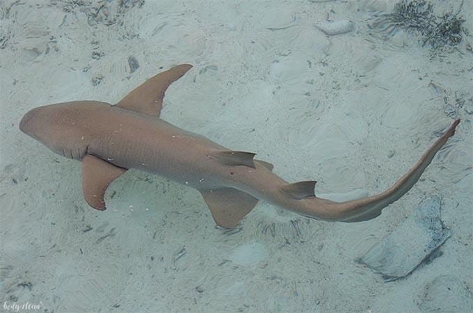 Malediwy Sun Island Resort rekin rafowy