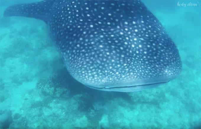 Malediwy rekin wielorybi